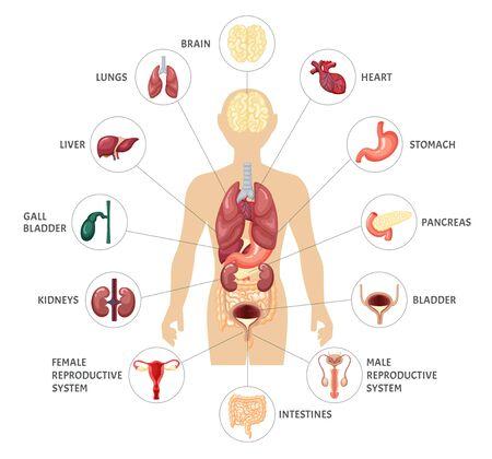Human body internal organs infographics. Anatomical location internal organs.