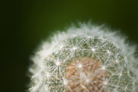 dandelion seed: Dandelion seed head with water droplets closeup