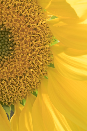 brightly lit: Sunflower head close-up brightly lit by sun counterlight