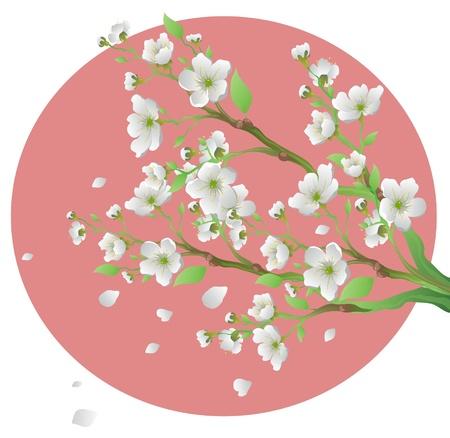 japanese apricot flower: Sakura