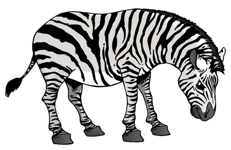 Zebra Stock Vector - 9437403