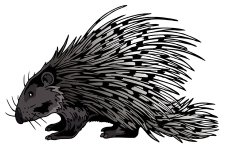 Crested Porcupine isolated on white background