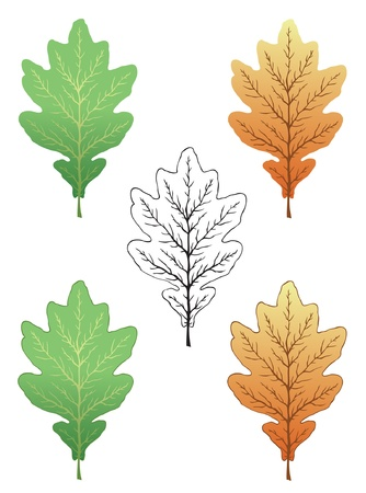 Vector set of summer and autumn oak leaf