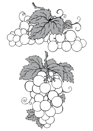 tendril: Bunch of grapes with leaves Illustration