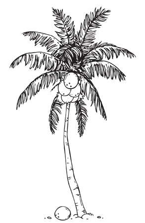Coconut palm tree on a white background  Stock Vector - 14645030