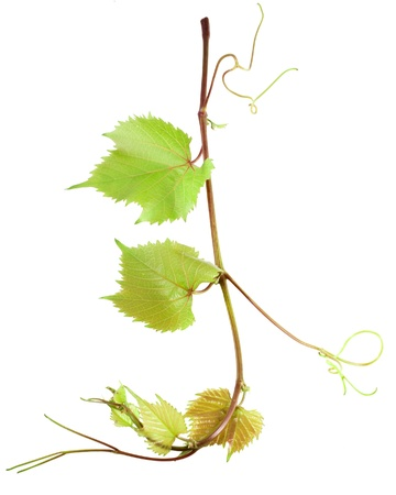 Grape leaves isolated on white  Stock Photo - 20487817