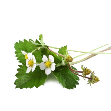 Wild strawberry with flower  photo