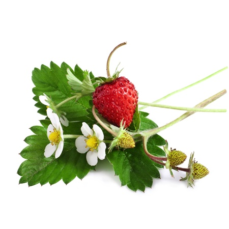 Wild strawberry with flower Stock Photo - 20853385