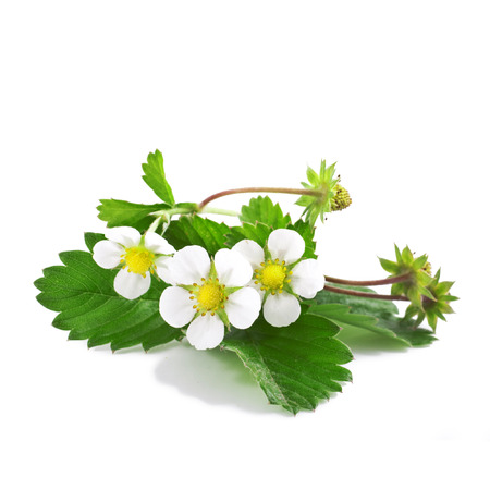 Wild strawberry with flower Stock Photo