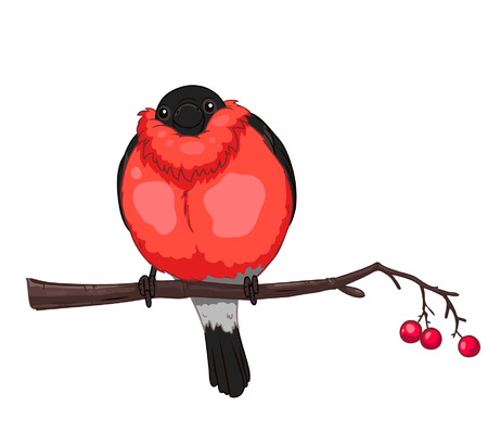 bullfinch: Bullfinch on a branch of rowan isolated on white background   Illustration