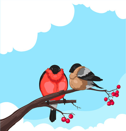 bullfinch: Two Bullfinch on a branch of rowan isolated on white background  Illustration