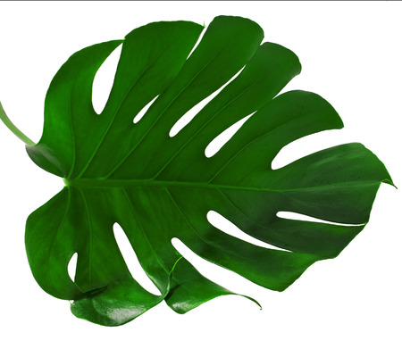 leaf close up: One Big green leaf of Monstera plant, isolated on white background