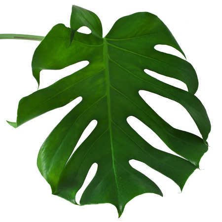 One Big green leaf of Monstera plant, isolated on white background 版權商用圖片