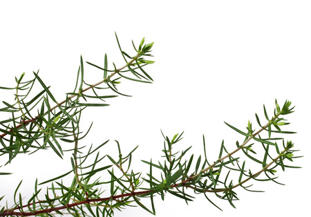 juniper tree: Green juniper branch isolated on white background