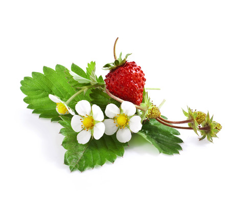 Wild strawberry with flower isolated on white  photo
