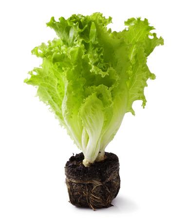 lettuce seedlings on the white