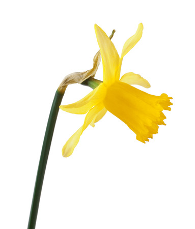 beautiful yellow daffodils isolated