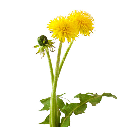 Flowers and a bud of dandelion  Taraxacum officinale   Stock Photo
