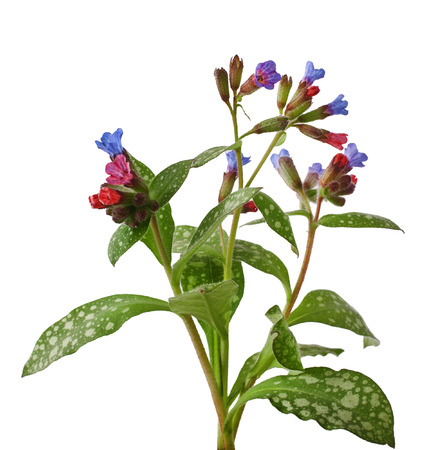 Lungwort medicinal  Pulmonaria officinalis  isolated on white
