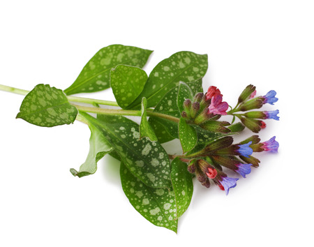 officinalis: Lungwort medicinal  Pulmonaria officinalis  isolated on white