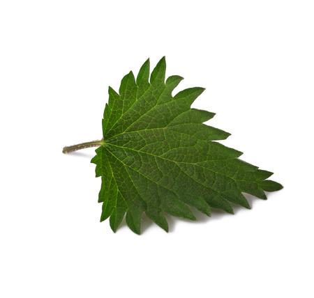 One Young stinging nettle leaf close up isolated on white background