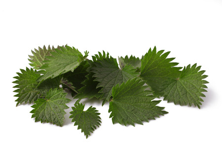 fresh leaves nettle close up macro shot isolated on white background
