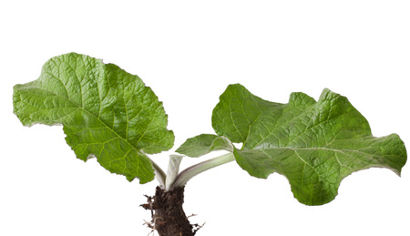 burdock: Young burdock on white background  arctium lappa   Stock Photo