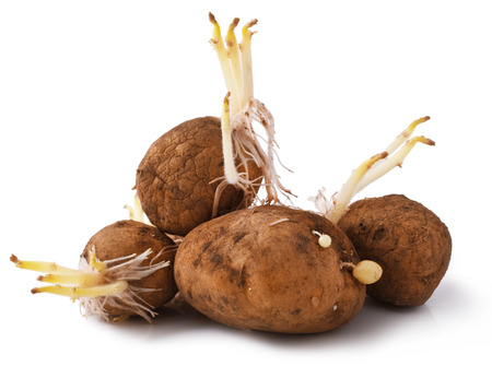 russet: potatoes seeds with sprouts for planting  Stock Photo