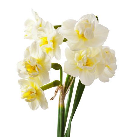 beautiful white daffodils isolated on white background