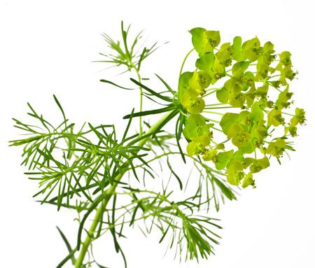 Cypress spurge  Euphorbia cyparissias  on white background
