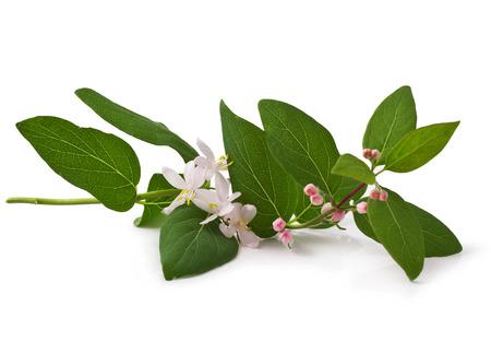 Pink honeysuckle in blossom  Lonicera tatarica   on white background