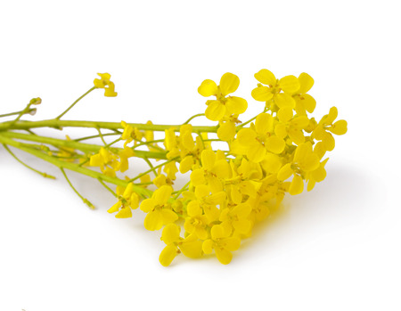 mustard field: Flowering Barbarea vulgaris or Yellow Rocket plant  Cruciferae , Brassicaceae   close up isolated  Stock Photo