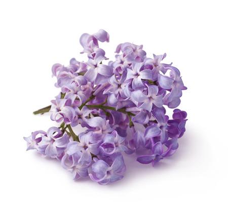 Lilac flower isolated on white background   Syringa vulgaris