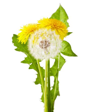 Flowers of dandelion  Taraxacum officinale , isolated on white background