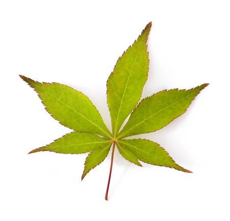 Green japanese maple tree leaf  Acer palmatum  isolated on white