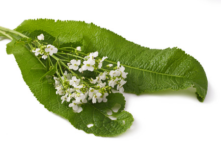leaves and flowers of horseradish isolated on white