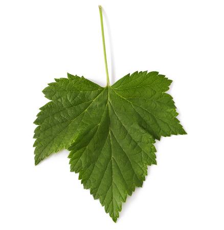 Blackcurrant leaf on a white