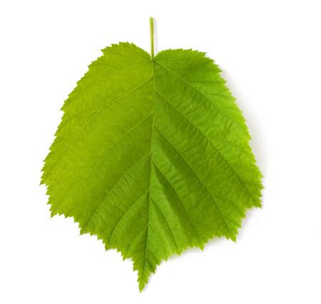 Hazelnut leaf on a white