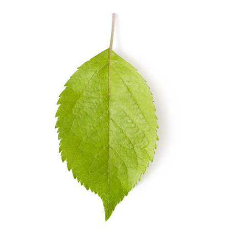 One green leaf of apple-tree  Isolated