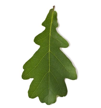 Green oak leaf isolated on white background