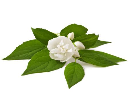 jasmine blossom isolated on white  Stock Photo
