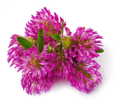 red clover: Red clover flower  Trifolium pratense  isolated on white background Stock Photo