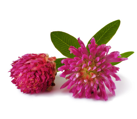 white clover: pink clover flower tea isolated on a white