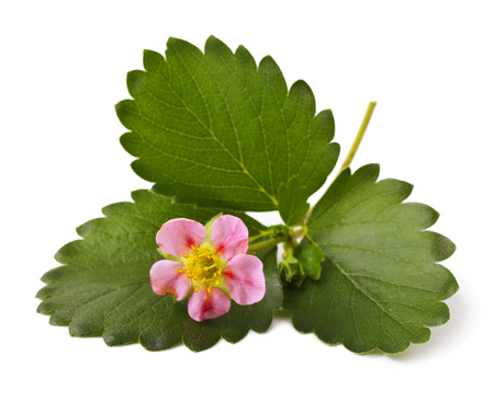 Strawberries with flower on a white background