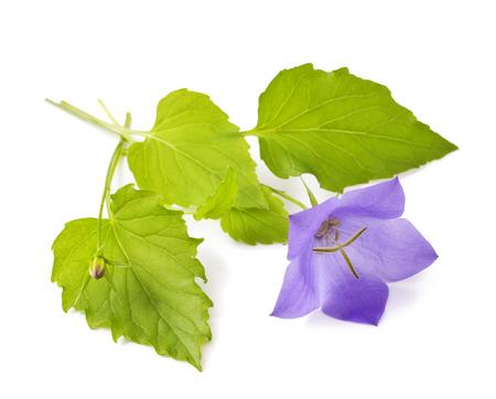Purple flower bellflowers on white background   Campanula