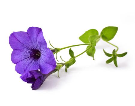 petunia: petunia isolated on white background