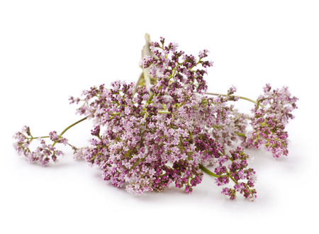valerian: Valerian herb flower sprigs on a white background Stock Photo