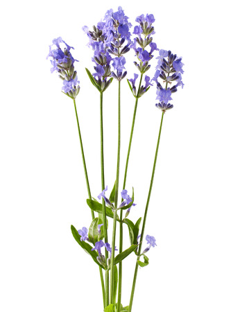 Bunch of lavender flowers on white background  Stock Photo