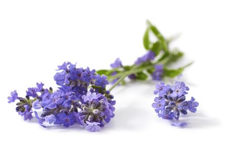 witte achtergrond: Bos van lavendel bloemen geïsoleerd op een witte achtergrond