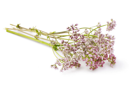 Valerian herb flower sprigs on a white background photo